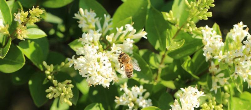 abeille-fleurs-parfum-nature