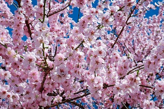 cerisier-japonais-en-fleur-printemps
