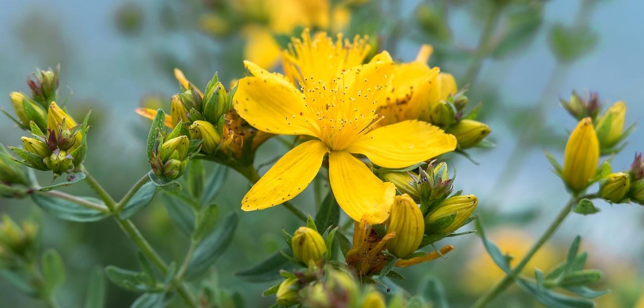 millepertuis-fleurs-jaunes-anti-depression