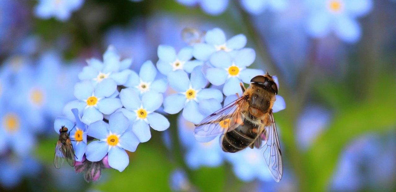 abeille-pollen-fleurs-butinage