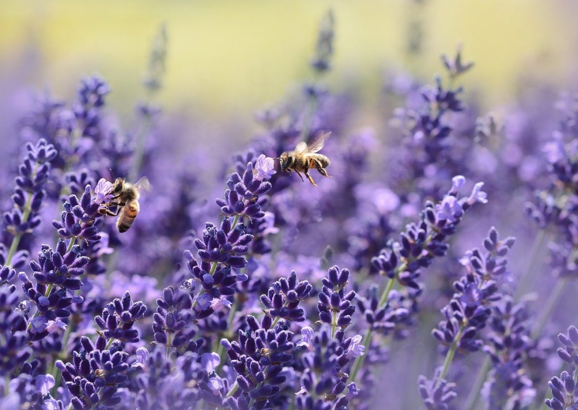 abeilles-pollen-fleurs-lavandes