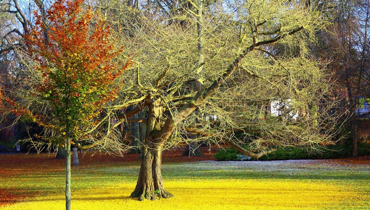 arbre-ginkgo-biloba-feuilles