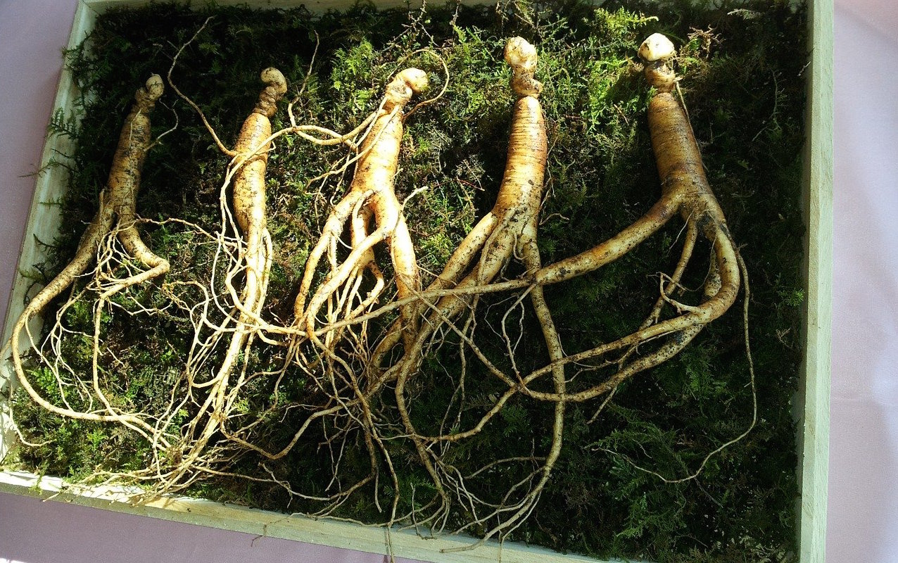 panax-ginseng-pharmacopée-chinoise